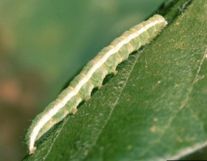 Velvetbean caterpillar