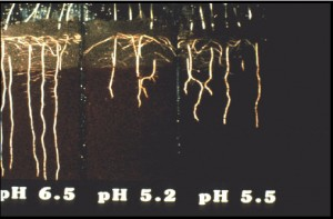 Bermuda roots at different pH levels