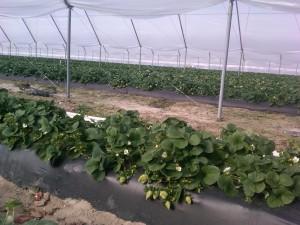 Strawberries growing in the hoop house