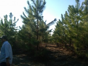 Not to bad for 6 year old slash pines.
