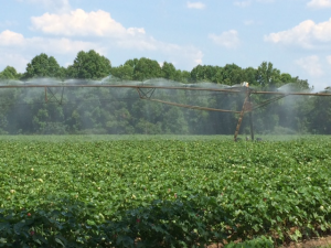 cottonirrigation