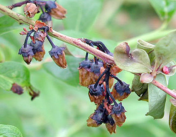 Appling County Crop E News Freeze Injury On Blueberry Plants