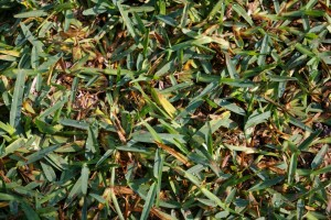 Herbicide injury