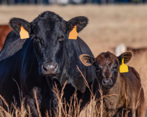 Adding Value to the Calf Crop Through Reproductive Technology