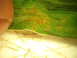 southern corn rust 2