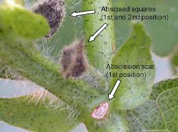 pinhead tarnished plant bug damage