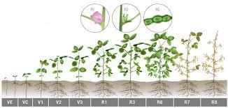 soybean growth chart 2