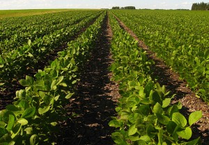 20080716_soybeans2_33