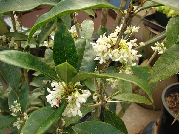 Osmanthus fragrans leaf and flower detai.l Photo by Forest and Kim Starr