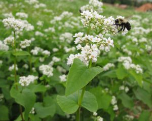 The flowers of buckwheat attract all kinds of beneficial insects like pollinators, wasps, and ladybugs.