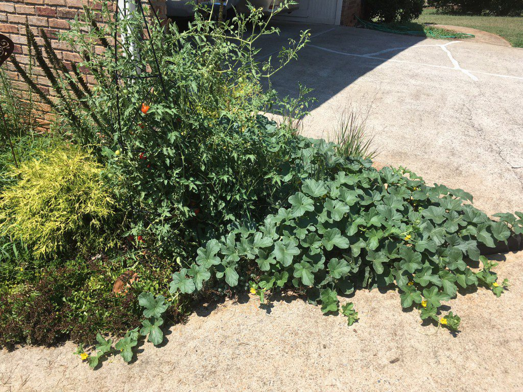 "Since there is no heating of compost with vermiculture, seeds will remain viable. The cantaloupe on the right and tomato on the left are both ""volunteers"" from where I used castings in my landscape. These are two of my healthiest plants this year and I didn't even have to try. Maybe there is a lesson to be learned here."