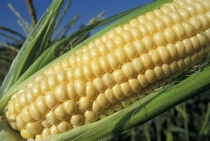 Corn posts double-digit increases in yield this year