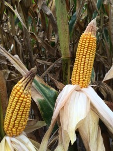Source: Shane Curry, Appling County Crop E News