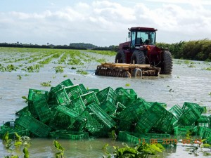 Torrential rains in south Florida's Redlands growing region severely damaged winter yellow squash, zucchini and green beans, as well as this field of corn grown by Alger Farms. Source: Alger Farms via The Packer.