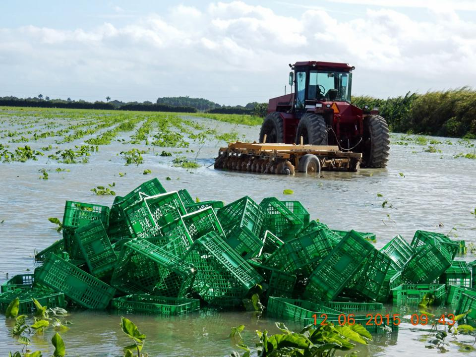 Torial Rains In South Florida S Redlands Growing Region Severely Damaged Winter Yellow Squash Zucchini And Green Beans As Well This Field Of Corn