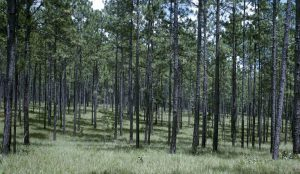 Natural longleaf pine forest in Alabama.  Source: William Boyer, US Forest Service.