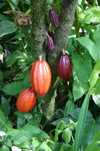 Cocoa pods.  Source: Mediacaster, Commons Wikimedia