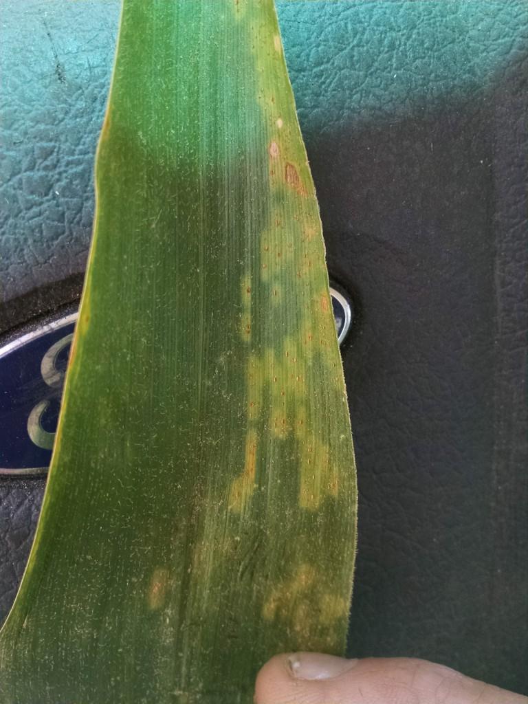 southern rust on corn