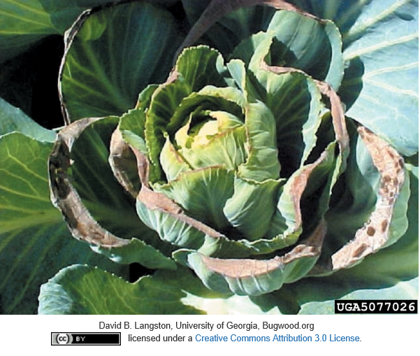 calcium deficiency in cabbage