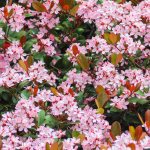 What to Do When Your Flowering Shrubs Are 'Flowerless'