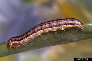 Fall Armyworms are on the move