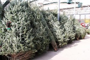 Extension tips on selecting and caring for Christmas trees