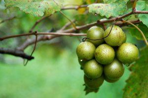 Celebrating Georgia's Native Grape