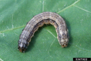 Check pastures and hayfields for Fall Armyworms