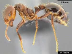 Treat fire ants in the fall to reduce spring populations