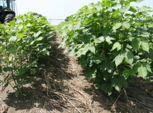 Cover Crops in Cotton Production