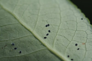 Management of Whiteflies in Blueberries