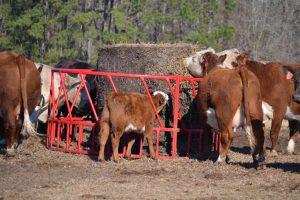 Time for cattlemen to prep for winter