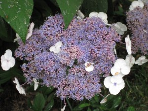 Hydrangea aspera, quite lovely in a Virginia garden in summer