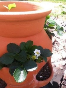 Strawberry pot in early April