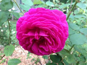 Rose Lawn 2
