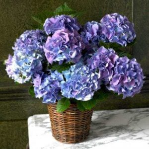 Hydrangeas to illustrate the plant the article is about