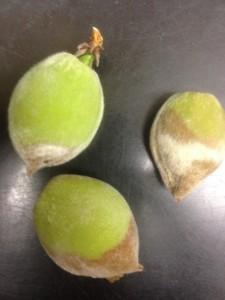 Green Fruit Rot
