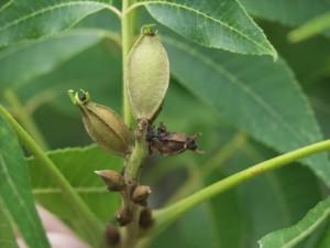 pecan nut casebearer damage