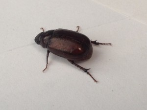 Bucks beetles 1