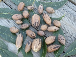 nuts 009