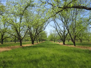 pitts orchard spring