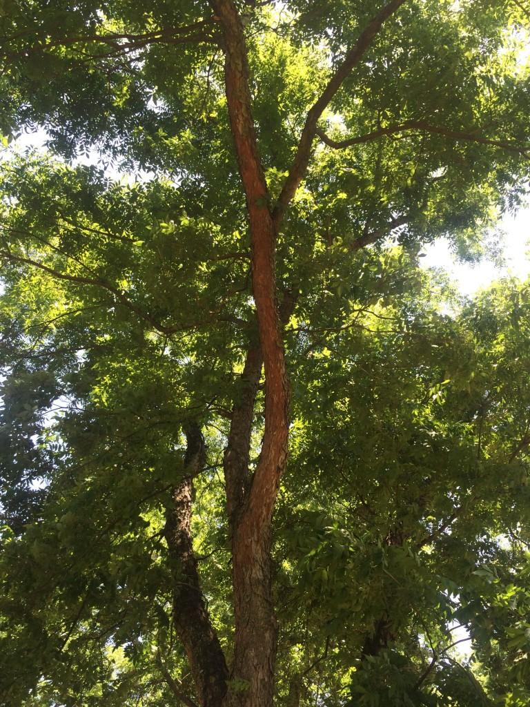 Desirable Bark Flaking Off Uga Pecan Extension