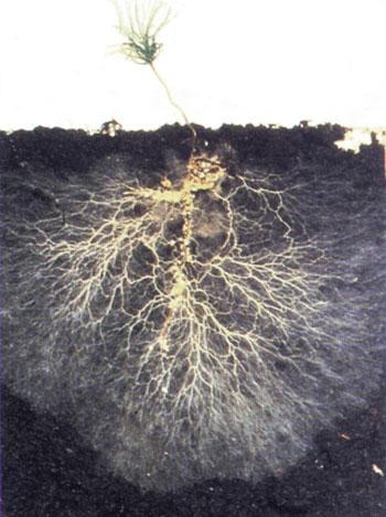 Uga Pecan Extension Mycorrhizae Not All Fungi Are Harmful
