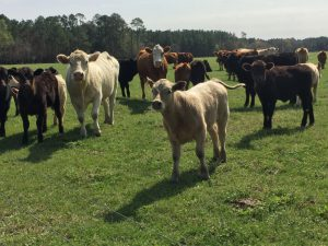 Retaining your Calf Crop Past Weaning
