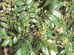 Black Pecan Aphid Damage
