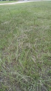 Bahiagrass seedhead