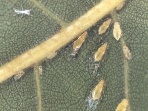 Yellow Pecan Aphids