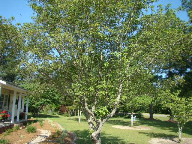 Here is a dog wood tree planted in full sun that is stressed.