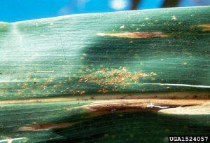 southern corn rust