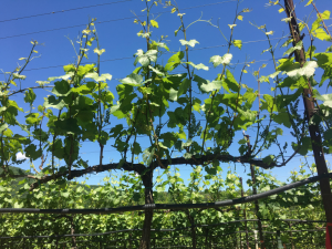 Notice the sunlight penetration through the canopy and the relatively little leaf overlap. This is a healthy canopy. For now anywayu2026 & UGA Extension Viticulture Blog | Canopy management in the post ...